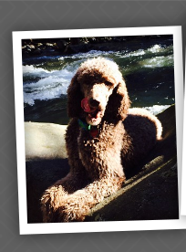 PAST STANDARD POODLE PUPPY
